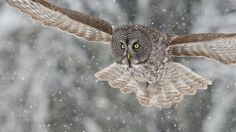 On target by Maxime Riendeau on 500px. Chouette lapone / Great gray owl, Quebec, Canada