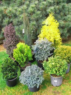 Dwarf & slow growing conifers: Ideal for pots, rockeries and mixed planting ½ to 2 metres. Dwarf & slow growing conifers: Ideal for pots, rockeries and mixed planting ½ to 2 metres. Garden Shrubs, Landscaping Plants, Front Yard Landscaping, Lawn And Garden, Landscaping Ideas, Arborvitae Landscaping, Landscaping Edging, Garden Plants, Garden Trees