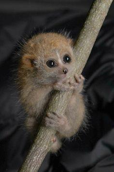 Little Loris Twins Born a Duke Lemur Center Primates, Mammals, Cute Baby Animals, Animals And Pets, Slow Loris, Animal 2, Tier Fotos, Beautiful Creatures, Pet Birds