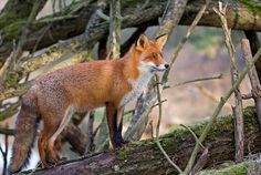 Beautiful shot of a red fox #Vulpes_vulpes #myt