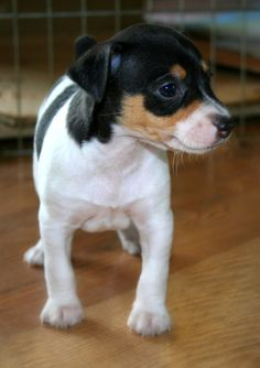 Beautiful little Rat Terrier Puppy! This is a photography shot we enjoy. Hope you enjoy it too - Little Hawk Trading, a favorite eBay store - Clothing & Shoes for LESS - http://stores.ebay.com/Little-Hawk-Trading