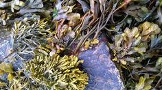 Close up of seaweed taken at Portling in July 2014