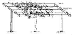 How to prune and train a kiwi vine. Kiwi Growing, Growing Plants, Grape Vine Trellis, Grape Vines, Kiwi Vine, Grow Home, University Of Idaho, Strawberry Planters, Aquaponics Plants