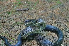 Crawling Animals, Temperate Deciduous Forest, Black Rat, Rat Snake, Year Of The Snake, Mushroom Hunting, Biomes, Snakes, Lizards