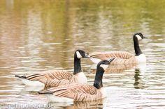 Kanadagans #birding