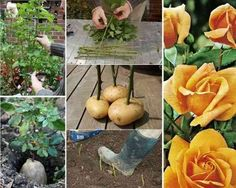 Propagating roses in potatoes Cool Art Projects, Garden Projects, Project Ideas, Roses In Potatoes, Grow Potatoes, Planting Potatoes, Rose Cuttings, Rose Propagation, Growing Roses