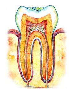 Tooth Bone and Gingiva Watercolor Print Abstract Dental
