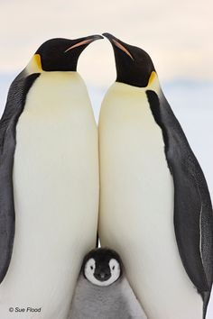 Penguin chicks, polar bears and icebergs – pictures from the Poles