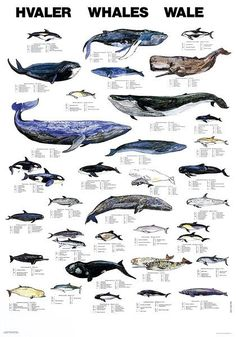 Whales Hvaler Wale ~ Marine Life Charts from Scandinavian Fishing Year Book (many other charts there!) via Remodelista