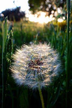 Labrīt mana mazā skaistā sieviete Dandelion Clock, Dandelion Wish, Dandelion Seeds, Dandelion Designs, Macro Photography, Amazing Photography, Beautiful Flowers, Beautiful Pictures, Make A Wish
