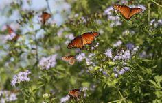 Butterflies feast on milkweed. Photos Of The Week, Butterflies, Animals, Animales, Animaux, Butterfly, Animal, Animais