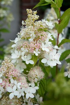Hydrangea paniculata Confetti   H&S: 1.2m x 0.75m  Position: full sun or part shade  Flowers: July to September Woodland Garden, Woodland Flowers, Hydrangea Paniculata, Garden Shrubs, Shade Garden, Garden Plants, White Hydrangea Garden, Hydrangea Plant, Pink Hydrangea