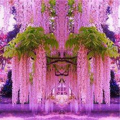 Details about Purple Wisteria Flower Seeds Perennial Climbing Plants Bonsai Home Garden Japanese Maple Tree Bonsai Seeds Acer Palmatum Atropurpureum Plant Garden.