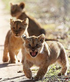 An adorable trio of lion cubs explore their enclosure at the Monarto Zoo in Adelaide, Australia.