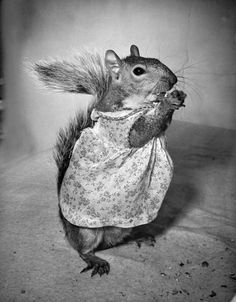 Nina Leen - Fashion squirrel, 1940's. In the 1940s a squirrel owned by the wife of a Washington dentist became famous throughout the United States. The squirrel's name was Tommy Tucker and he wore women's clothing.
