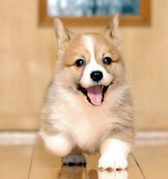 Corgi puppy, I love how wide their little legs are!