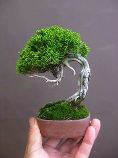 A tiny tree - a bonsai tree that is! Check out our selection of bonsai trees today and add some spice to your home décor!