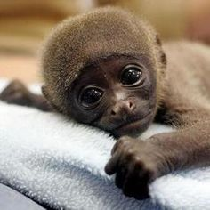 These adorable baby monkey pictures will make even the worst days better 🙂. So Cute Baby, Cute Baby Monkey, Cute Baby Animals, Funny Animals, Cute Babies, Monkey Monkey, Animal Babies, Primates, Funny Animal Photos