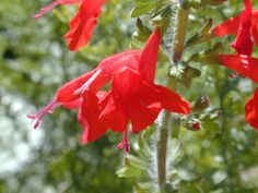 Salvia coccinea (Scarlet sage) | Perennial or annual herb, 1-3 ft, sun/part shade/shade, blooms Feb-Oct, attracts bees, butterflies and hummingbirds.