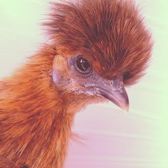 """Hi, My name is Rocky and I'm the best egglayer in the bunch! I'm a Silkie with odd coloring, I have a golden cape and my body is dark brown... I'm a broody hen. (My daddy named me Rocky after the film when I was pecked by the other chicken and my parents had to patch me up """"in my corner of the ring"""", then send me back into the game..."""