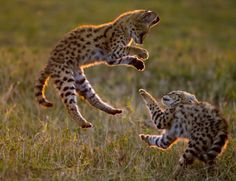 Serval cubs play in the Masai Mara. (Paul Goldstein / Exodus / Rex Features) (via Animals in flight: NEWS IN PICTURES)