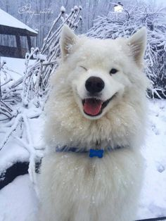 Samoyed and Animals Beautiful Dogs, Animals Beautiful, Animals And Pets, Baby Animals, Dog Rates, Samoyed Dogs, Cavapoo Puppies, Boxer Puppies, Fluffy Dogs