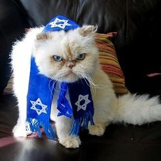 This big guy doesn't seem too excited about celebrating Hanukkah!! #jewishpets