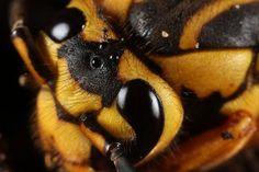 Hornet macro photograph
