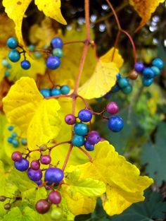 I'm SO HAPPY! These berries were in Maryland when we were there and I fell in LOVE with them! I've been trying to find out what they're called every since then. You can eat these: Porcelain berry Ampelopsis brevipedunculata Colour Schemes, Color Combos, Design Seeds, Photography Contests, Mellow Yellow, Blue Yellow, Plum Purple, Color Stories, Color Pallets