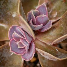 Echeveria 'Perle von Nurnberg' 紫珍珠 2018-11-04 #多肉植物 #succulents