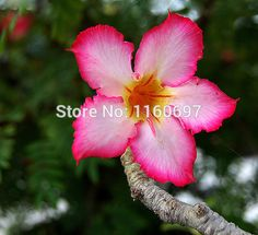 Free shipping 6pcs shocking pink  bonsai desert rose seeds sementes adenium obesum seeds rare flowers seeds semillas de plantas