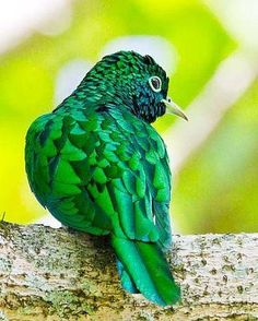 Klaas' Cuckoo