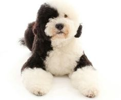 Portuguese Water Dog ... wouldn't mind this one for Christmas... right up there with the Goldendoodle!