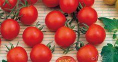 Tomaatti, Kirsikka-, Supersweet 100 F1
