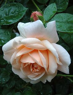 English Shrub Rose: Rosa 'Ambridge Rose' (U.K., 1990)