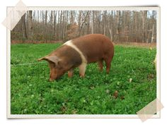 Sectors of Production Pig production is one of the most accessible enterprises for a beginning farmer or an established operation to get underway. Given the proper approach, the infrastructure required is minimal and pigs can adapt to many environments. Growing out purchased feeder pigs on pasture for direct market sale has a relatively quick turnaround …