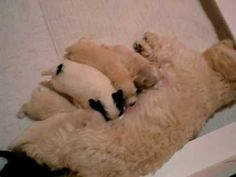 Derby City Havanese - BeBe's 2016 litter learning the art of the pounce Havapoo Puppies, Havanese, Learning, City, Dogs, Youtube, Animals, Bebe, Animales