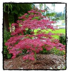 Tamukeyama Japanese Maple Tree  ~ See the Plant Information Index for more details at kieferlandscaping.com