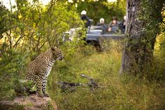 A leopard on a safari game drive in Lion Sands Game Reserve, South Africa. Africa Destinations, Amazing Destinations, Safari Game, Sand Game, River Lodge, Kruger National Park, Game Reserve, African Safari, Ultimate Travel