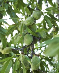 NUT Tree Hall's Hardy Almond - Easy almond to grow in cold climates