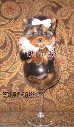 Future potential breeder WWW.COM offer the most exquisite teacup Yorkies, tiny teacup Yorkies, and tiny Yorkie puppies that you will find anywhere. Yorkie Puppies, Yorkies, Micro Teacup Yorkie, Wine Glass, Tea Cups, Yorkshire Puppies, Yorkshire Terriers, Yorkshire, Yorkshire Terrier Puppies