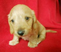 Red Wire coat Mini Dachshund female.  Too cute for words.