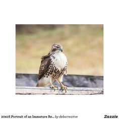 20x16 Portrait of an Immature Red Tailed Hawk Canvas Print
