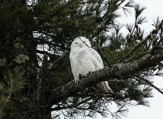 Snow Owl taken in Beckley WV