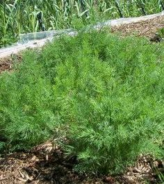 Growing Dill For Your Pickles And More. However it is nothing compared to Saskatchewan dill