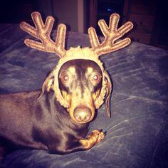 Mini daschound in antlers Christmas winter noodles