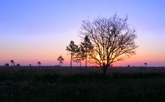 Kissimmee Prairie Preserve State Park. Okeechobee County, Florida