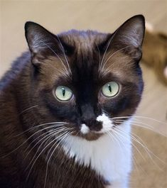 Piper is a 6 yr. old female DSH & Siamese mix. At 21lbs. she is on a special diet to lose some weight. Piper is available at Woods Humane Society, San Luis Obispo,CA.