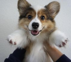 Corgis of Instagram : Photo