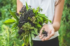 Our Black Elderberries are grown in nutrient-rich soil at a perfect altitude and are all harvested by hand at the perfect ripeness over a short 2-week harvest period. They then go through a proprietary extraction process, which ensures freshness while maintaining the potency of the berries. Read more about the journey of our berry from land to your home. Elderberry Supplement, Elderberry Benefits, Sambucol Black Elderberry, Purple Fruit, Deep Purple, Immune System, How To Stay Healthy, Berries, Remedies